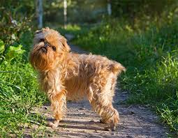 belgian sheepdog dogtime brussels griffon dog breed information pictures characteristics