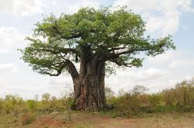 africa tree guide trees in kruger national park