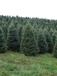 christmas tree wholesale suppliers fraser ridge fraser fir tree farm
