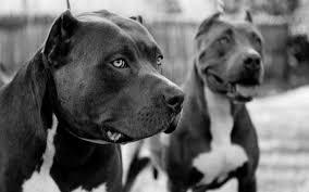 american pitbull terrier c image american pitbull dog black and white wallpaper hd jpg