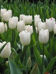 Las flores que nos gustan. Images?q=tbn:ANd9GcRBvW0d8Lpfs6Wta-wi5wgMhE2RNCxkmQwvwJ5tmp732KJxxjwl