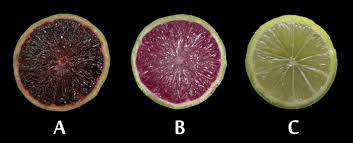 genetically modified anthocyanin expressing citrus developed ashs