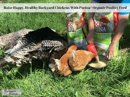 raise happy healthy backyard chickens with purina organic