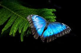 video the morpho butterfly u0027s blue isn u0027t what it seems wired