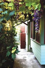 grape vine trellis home grown grape vines and trellis in hillside