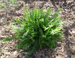 garden ferns u2013 how to grow and care for a fern garden outdoors