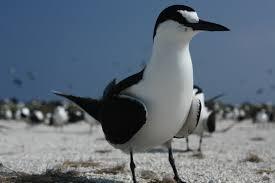 listbirds sooty tern 6 6 2014 dry tortugas national park fl birding 2014