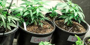 how much light do pot plants need how to grow just a few cannabis plants outside