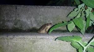porch at night this toad that comes out and guards our porch at night