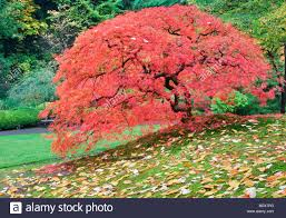 japanese maple images with japanese maple tree in fall color