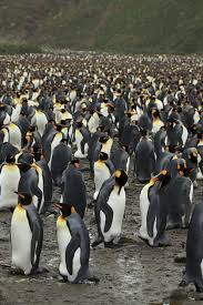 how do penguins find their mate in a sea of tuxedos pursuit by