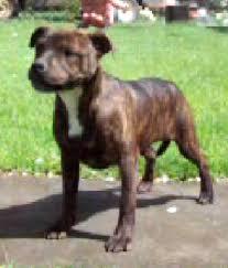american pitbull terrier akc for sale