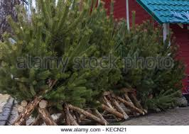 fresh cut christmas trees for sale on street with vintage signage