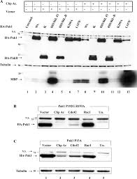Chp 180 Autophosphorylation Dependent Degradation Of Pak1 Triggered By