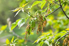 invasive non native plants siberia takes aim at invasive plant species russia beyond