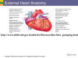 External Heart Anatomy Ppt The Heart Associated Great Vessels Powerpoint Presentation