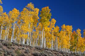 list of oldest trees
