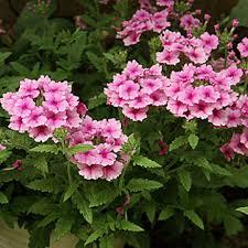verbena flower 100pcs garden verbena flower seeds balcony ornamental plant