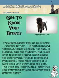 affenpinscher dog names the affenpinscher is a wonderfully funny dog who lives up to his