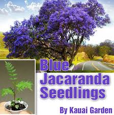 445 best oh to someday a jacaranda tree images on