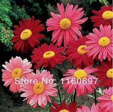 frees shipping 50pcs ornamental flowers seeds of colourful