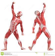 anatomy muscle man gallery learn human anatomy image