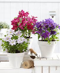 buy climbing plants online bakker com