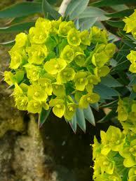 Lime Green Flowers - euphorbia u2013 a plant for all seasons the teddington gardener