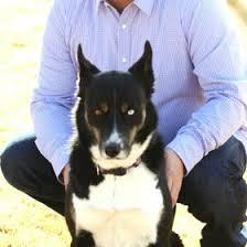 resume template accounting australian kelpie dog temperament by breed dan west dwest911 on pinterest