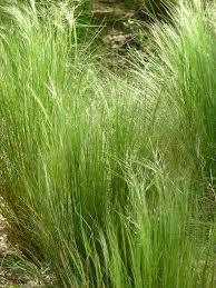 plante vivace soleil stipe cheveux d u0027ange u2013 paris côté jardin