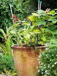 Trellis For Cucumbers In Pots How To Grow Blackberry Plants In Pots Hgtv