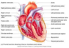 Anatomy Of Heart Valve Heart A U0026p