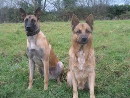 chow chow x belgian malinois malinois german shepherd cross dog and cat