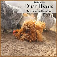 the chicken chicken dust bath the ultimate spa treatment