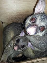 brushtail possums and the deadly dermatitis u2013 a good news story