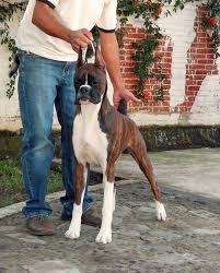 boxer dog shows 2016 draco boxers