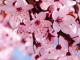 cherry blossom flowers cherry blossom images beautiful cherry blossom hd wallpaper and