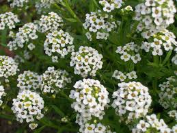 small white flowers tiny white flower clusters by galadri on deviantart