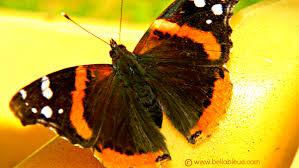 admiral butterfly bleue healing