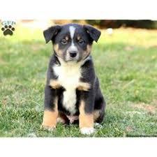 australian shepherd and husky mix australian shepherd mix puppy jasminerose i need a puppy