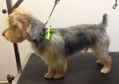 silky terrier hair cut yorkie lamb cut grooming inspiration yorkie silky terrier