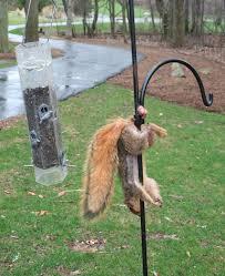 Dead Squirrel Meme - dead sacked squirrel imgur