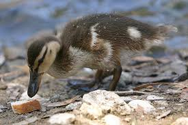 what do ducks eat diets and feeding