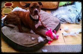 boxer dog utah dog training walking hiking socials boarding pet sitting