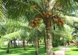 coconut health wiki
