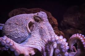 11 octopuses caught in the act of being awesome mental floss