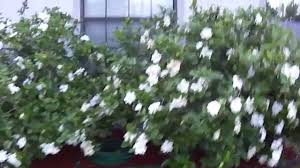 gardenia tip youtube
