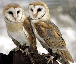 Where Does The Barn Owl Live Barn Owl The White Masked Ghost Owl Animal Pictures And Facts