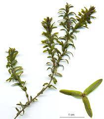 canadian native plants elodea canadensis wikipedia