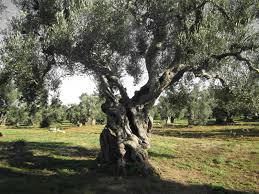 myth oilogy myths and facts about the extra virgin olive oil